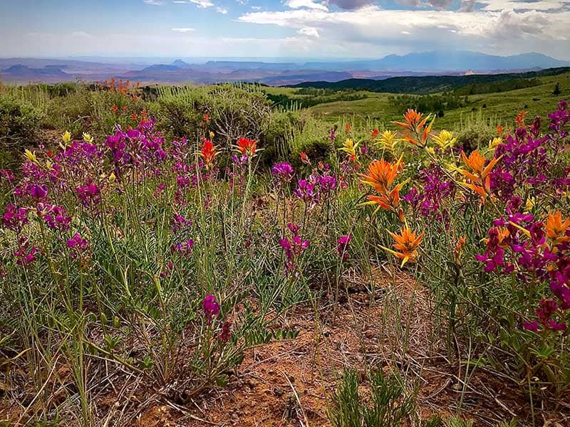 Desert wildflowers looking over vast stretches of Utah desert and mountains